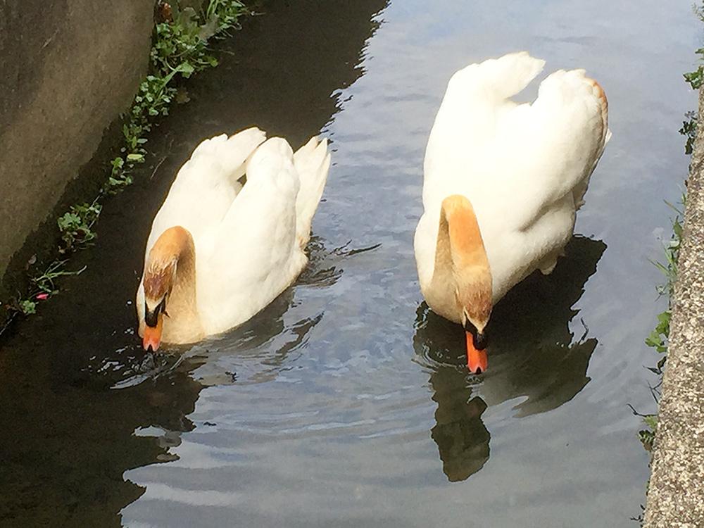 白鳥の夫婦
